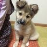 中型犬 雑種のフワフワ仔犬です♪