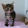 生後1ヶ月3キジトラ&1白キジの内2猫里親様決定! サムネイル3