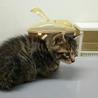 生後1ヶ月3キジトラ&1白キジの内2猫里親様決定! サムネイル7