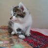 生後1ヶ月3キジトラ&1白キジの内2猫里親様決定! サムネイル6