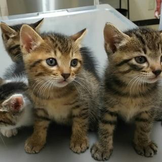 生後1ヶ月3キジトラ&1白キジの内2猫里親様決定!