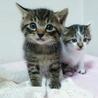 生後1ヶ月3キジトラ&1白キジの内2猫里親様決定! サムネイル2