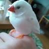 白キンカチョウ1羽 里親様を募集します(千葉近県)