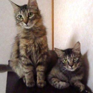 8ヶ月くらいの長毛の姉妹