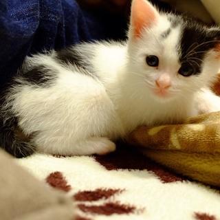 生後約一ヶ月、子猫の里親様を探しています。