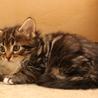 メインクーンの子猫4匹(3月14日生まれ)
