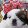 シーズーの子犬 わけありです