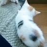 生後1ヶ月5子猫の内4猫終了/ママ猫+白キジ募集中 サムネイル7