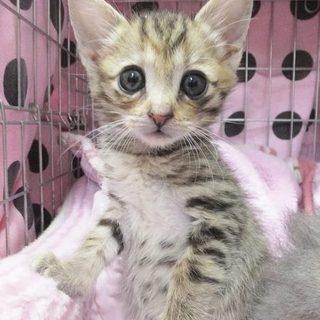 生後1カ月半大きな瞳のキジトラの女の子です♬