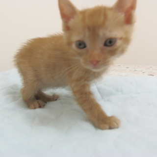 5月8日保護 子猫の茶トラ(個体番号:85)