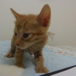 5月8日保護 子猫の茶トラ(個体番号:87)