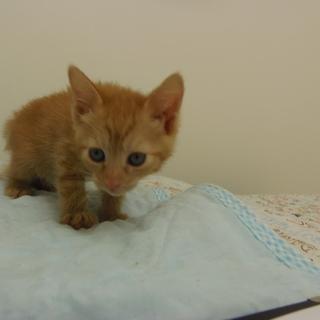 5月8日保護 子猫の茶トラ(個体番号:88)