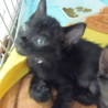 5月8日保護 黒の子猫(個体番号:92)