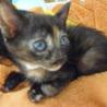 5月8日保護 サビ柄の子猫(個体番号:93)