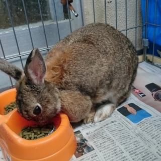 ミニウサギの里親さん募集中です。