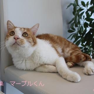 あまあま♥茶白タビー猫マーブルくん里親募集