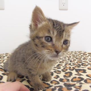 4月20日保護 キジトラの子猫♀