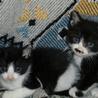 4月上旬生まれの可愛いオス小猫、2匹いますよ