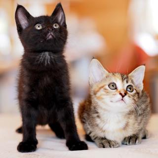 子猫の兄妹の飼い主さん募集