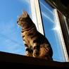 綺麗な模様 血統書付きベンガル猫です
