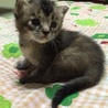 可愛い子猫アビシニアン風ちゃん