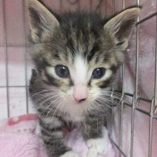 生後1カ月半のキジ白アメショ風猫ちゃんです!