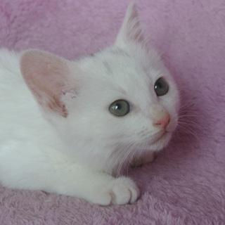 おっとりした白猫の男の子(所沢)