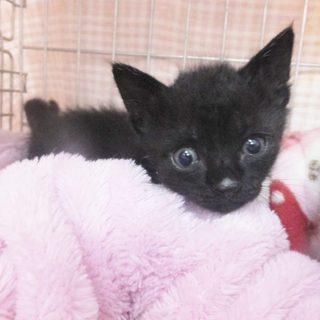可愛い真っ黒な黒ネコの男の子です!
