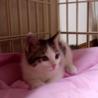 生後2ヶ月美形の白キジ♂(他媒体にて里親様決定) サムネイル2