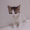 生後2ヶ月美形の白キジ♂(他媒体にて里親様決定) サムネイル5