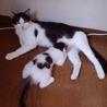 生後2ヶ月美形の白キジ♂(他媒体にて里親様決定) サムネイル7