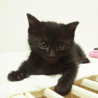 ☆☆生後1ヶ月☆☆ふわふわ長毛黒猫♂と美人白黒母
