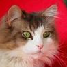 甘えたさんメインクーン/長毛が綺麗な大人しい美猫