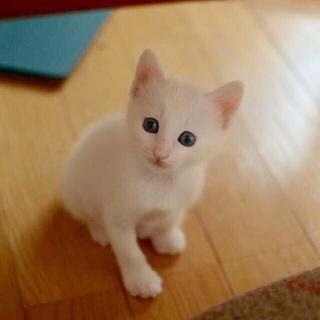 白猫青目の美人ちゃん