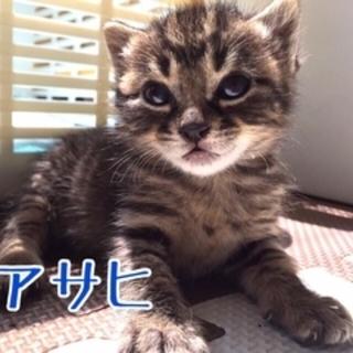 【アサヒ】MIX・生後1ヶ月・オス