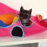 ♂手乗りサイズ黒トラ♂2015年4月上旬生まれ