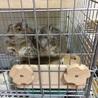 パイドデグーとブルーデグーのメス2匹