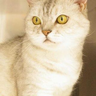 珍しい白三毛の成猫の女の子です!