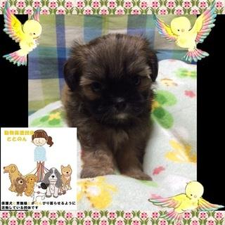 シーズー&ペキニーズのMIXの子犬です。