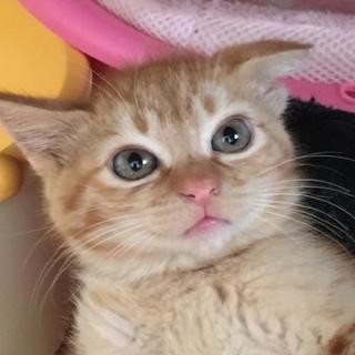 茶トラの子猫ミール 女の子 2ヶ月
