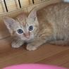 茶トラの子猫ミール 女の子 2ヶ月 サムネイル2