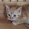 茶トラの子猫ミール 女の子 2ヶ月 サムネイル3
