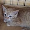 茶トラの子猫ミール 女の子 2ヶ月 サムネイル4