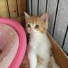 茶白の子猫 ベル 女の子3ヶ月 サムネイル3