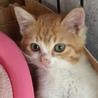 茶白の子猫 ベル 女の子3ヶ月 サムネイル4