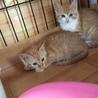 茶白の子猫 ベル 女の子3ヶ月 サムネイル5