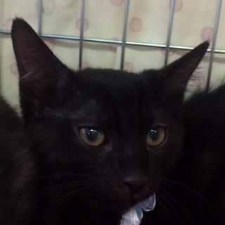 ちょっと怖がり、でも遊ぶの大好き黒子猫!