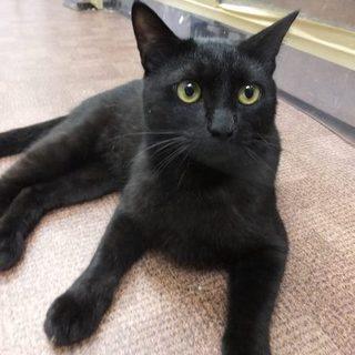 毛並み綺麗な黒ネコの男の子です!