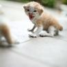 急募!まだ離乳前の子猫です。一時保護できる方でも可