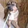 優しく穏やかな大型犬男の子2才 サムネイル2